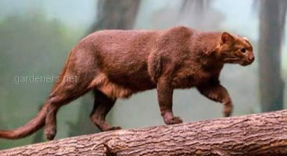 Ягуанди необычное и скрытное животное.