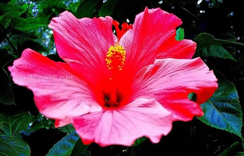 Как успешно выращивать китайскую розу (гибискус)?