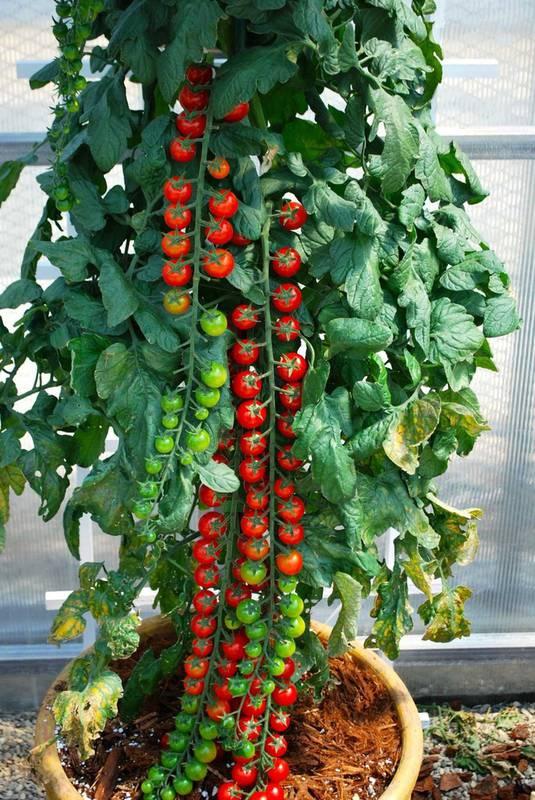 Как вырастить мини-овощи?
