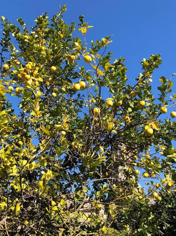Як правильно обрізати лимонне дерево!