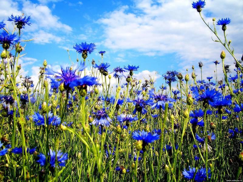Как защитить василек синий от болезней, вредителей и сорняков?
