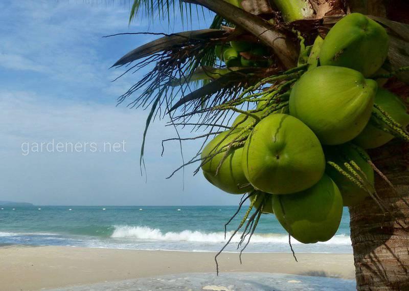13 интересных фактов о кокосах