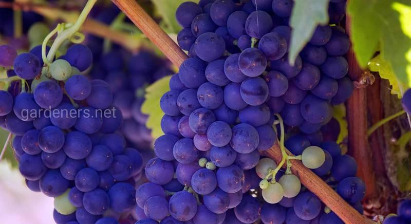 Сорта винограда устойчивые к низким температурам