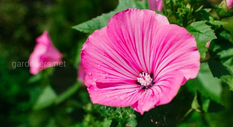 Красавица Лаватера и ее видовое разнообразие
