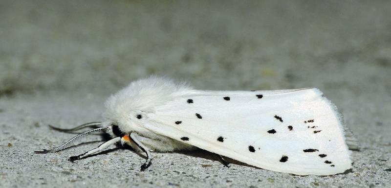 Американская белая бабочка: какой вред наносит и как предотвратить ее распространение?