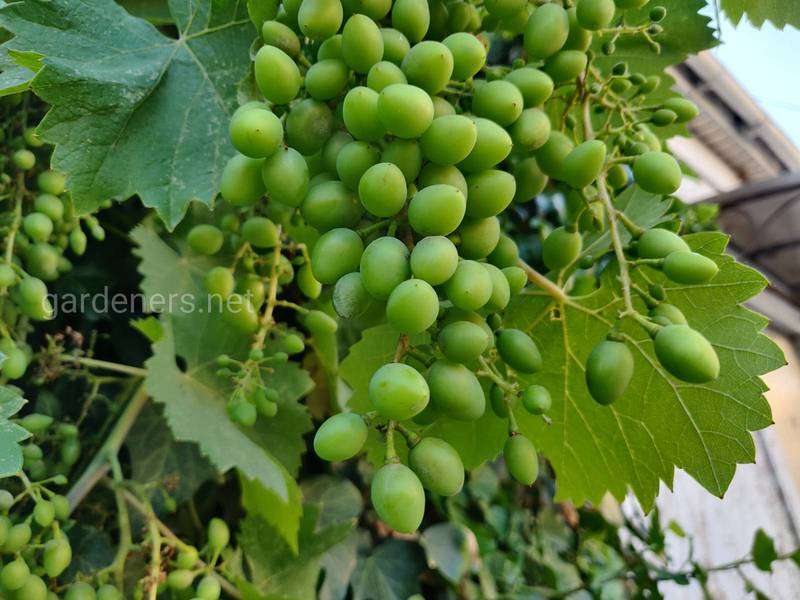Основные работы на виноградных насаждениях в июле, которые позволят повысить продуктивность виноградных кустов