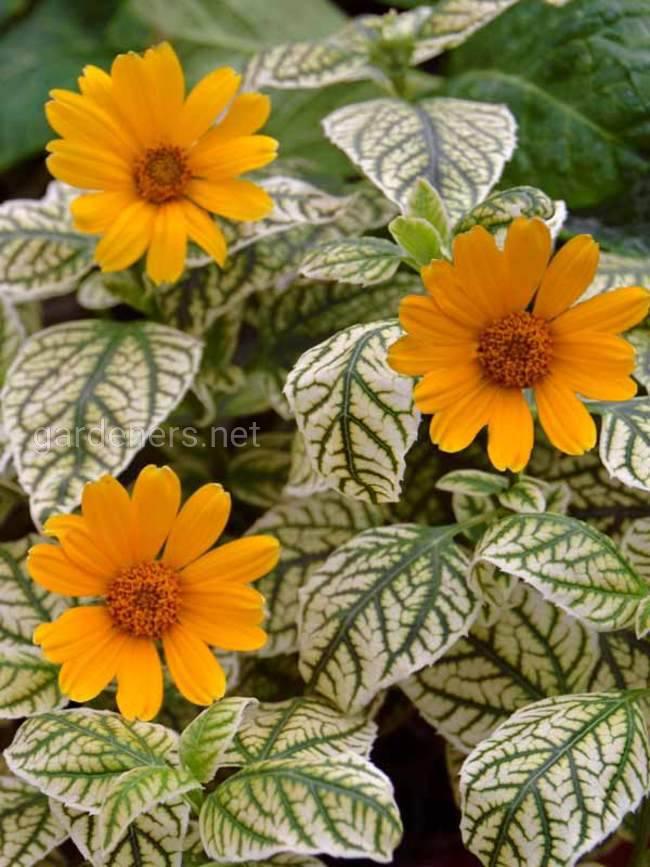 Heliopsis 'Sunburst'