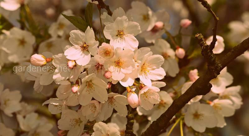 Деревья долгожители: вишня, груша, липа и другие