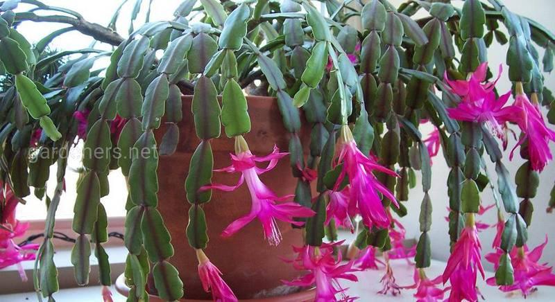 Різдвяний кактус: п'ять порад, завдяки яким рослина цвіте всю зиму