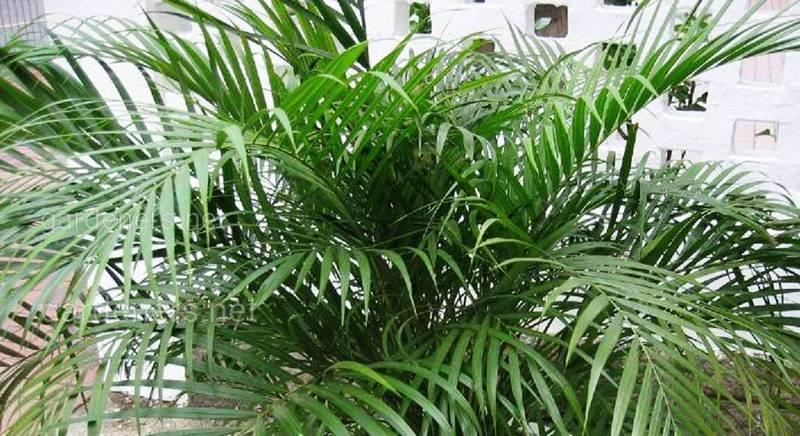 Хрізолідокарпус, діпсіс або пальма арека: як вибрати ідеальний сорт вічнозеленої пальми