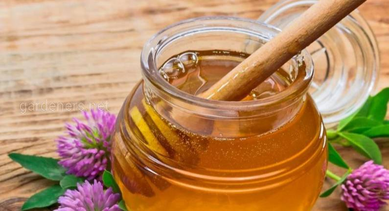 Чим корисний конюшиновий мед та як його правильно використовувати