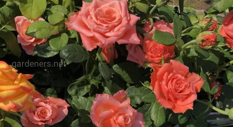 куст роз.jpg