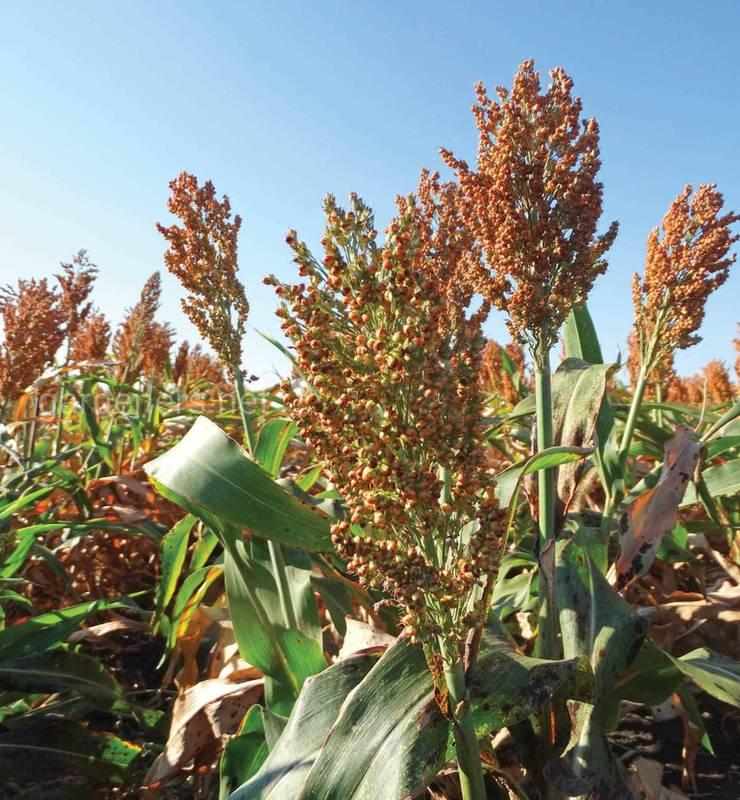 Переваги вирощування сорго!