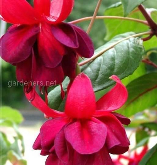 Fuchsia Granada