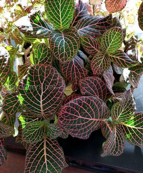 Fittonia Pink Angel
