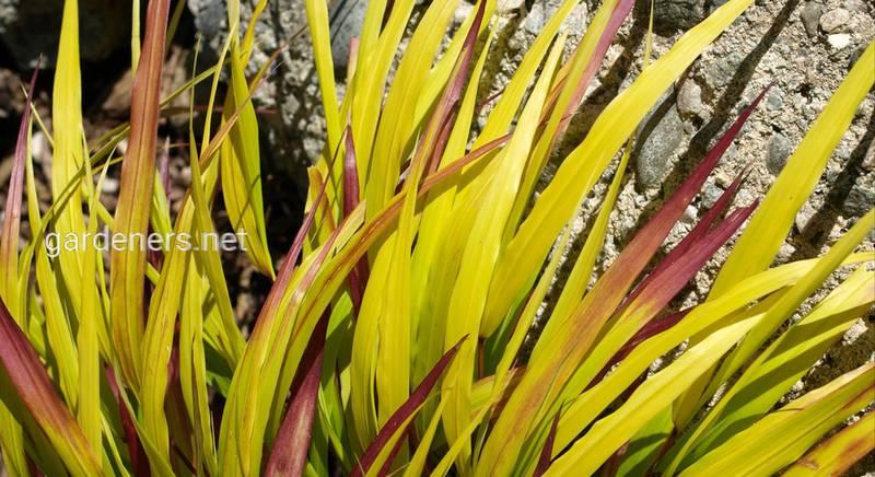 Хаконехлоя: все о растении
