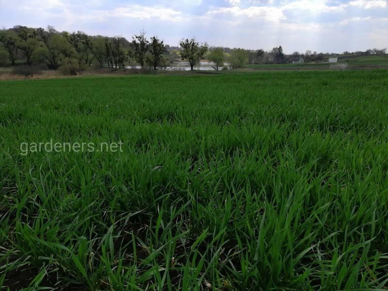 Посів пшениці протягом листопада