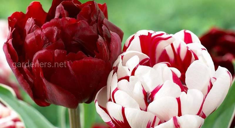 Волшебный пионовидный тюльпан: цветок, сочетающий в себе великолепие пиона и грацию тюльпана