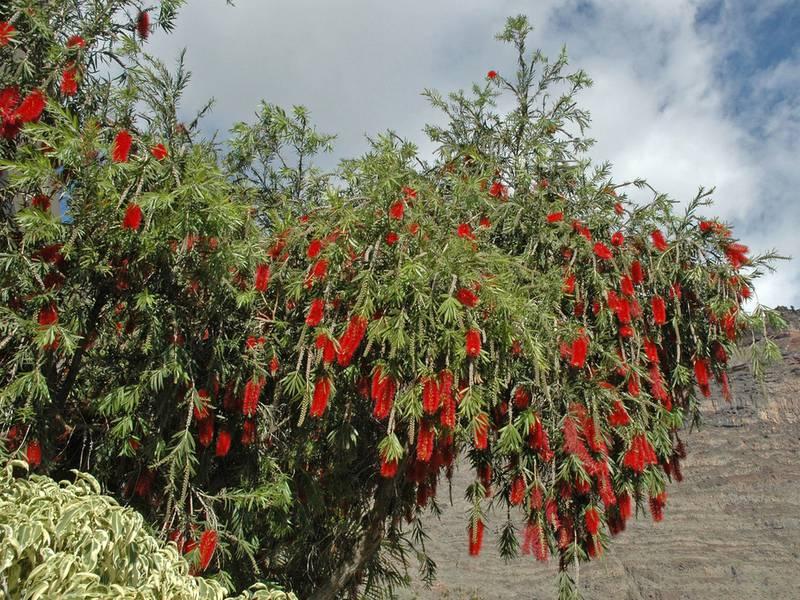 Як успішно вирощувати каллістамон?
