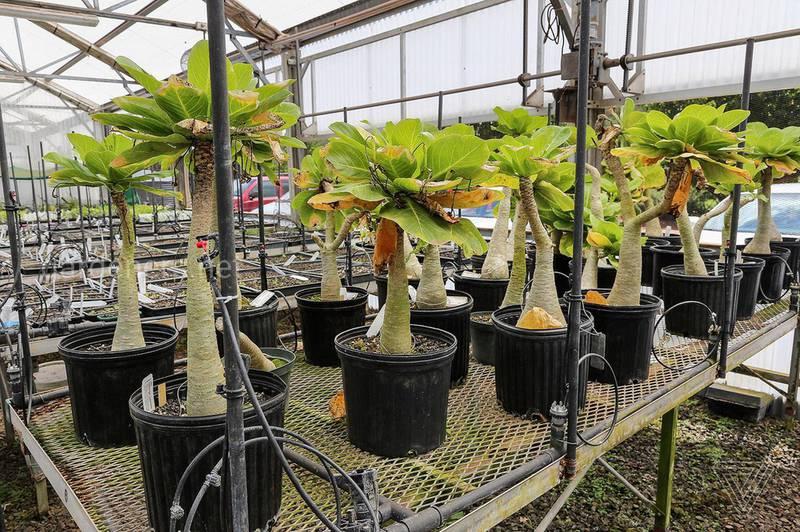 Бригамия: виды, уход и выращивание редкой пальмы в домашних условиях