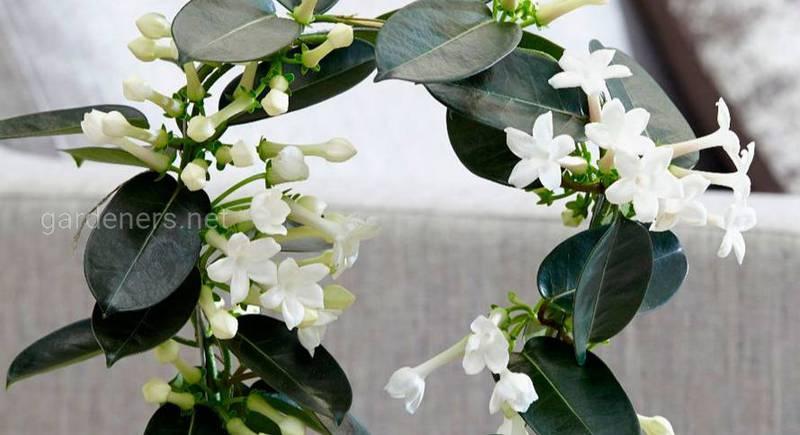 Кімнатна рослина стефанотіс