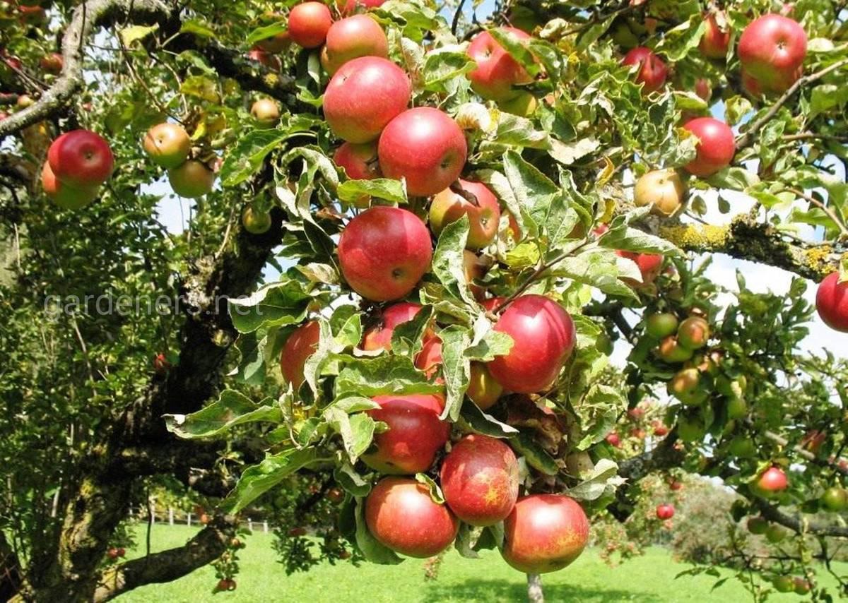 Сорт яблок «Анис алый»