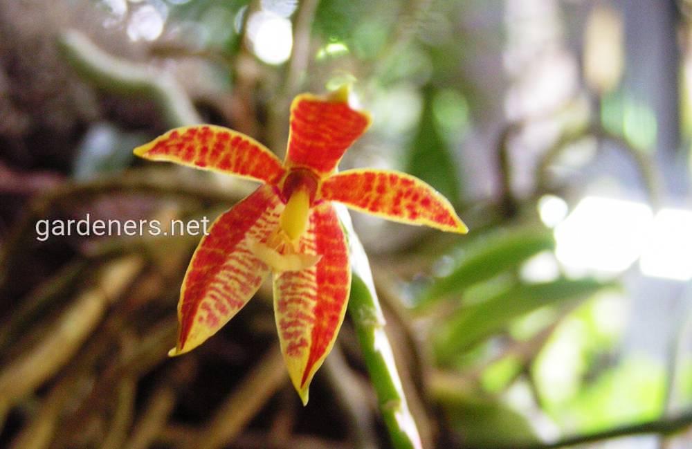 Фаленопсис оленерогий
