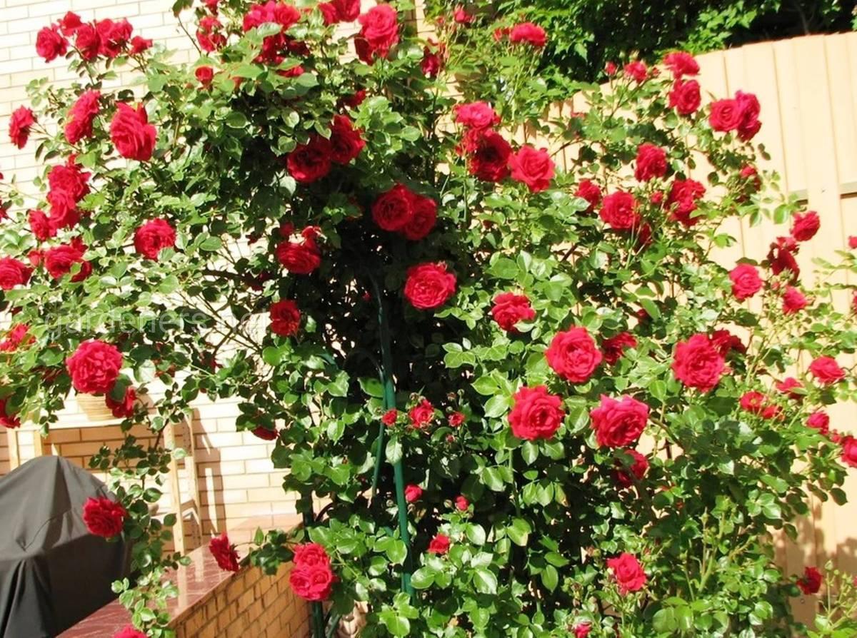 Плетистая роза «Naheglut»