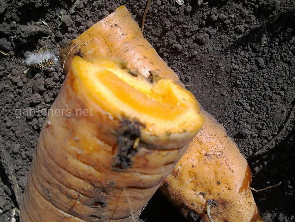 Проволочник и морковь