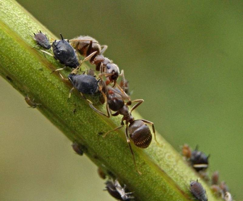 Использование манки в борьбе с муравьями