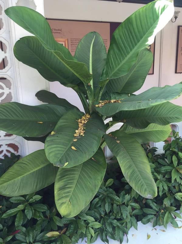 Как вырастить банан?