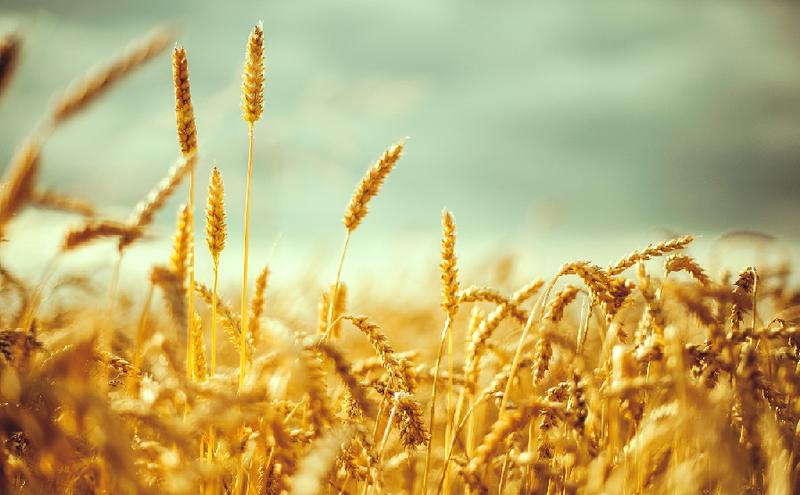 Як приготувати розчин сечовини для підживлення пшениці?