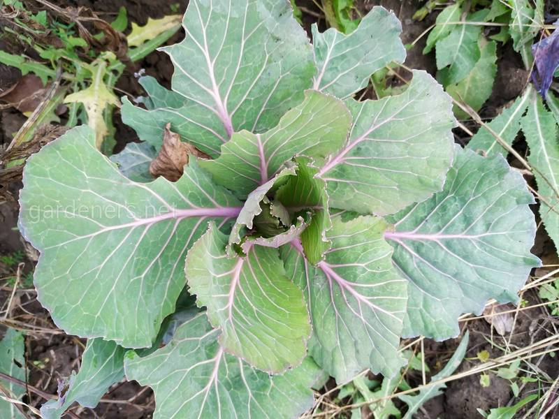 Декоративная капуста - шикарные цвета в пасмурные дни, это настоящая зимняя жемчужина
