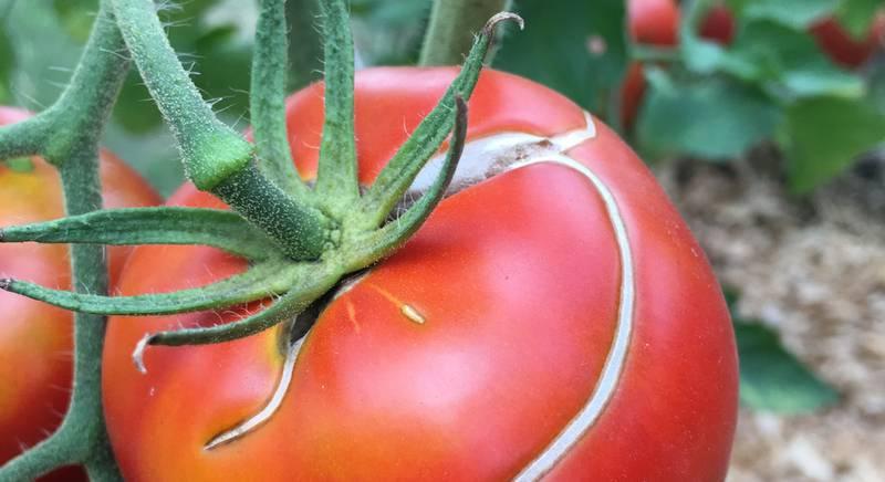 томат 3.jpg