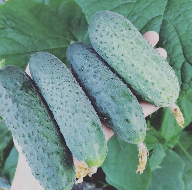 Огірки в теплиці і у відкритому грунті