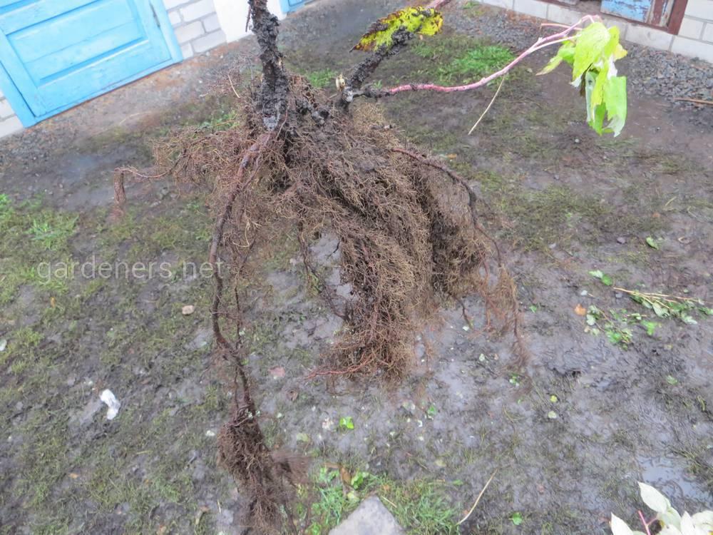 Маточный корень малины