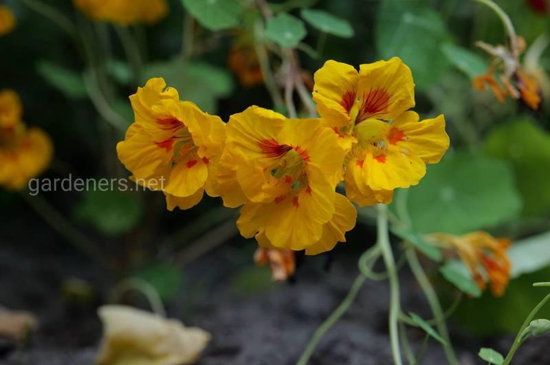 Настурция лекарственная - драгоценное растение, которое содержит больше витамина С, чем лимон