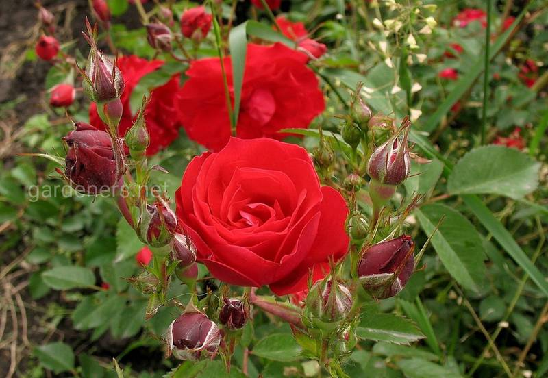 Как правильно посадить черенки роз?