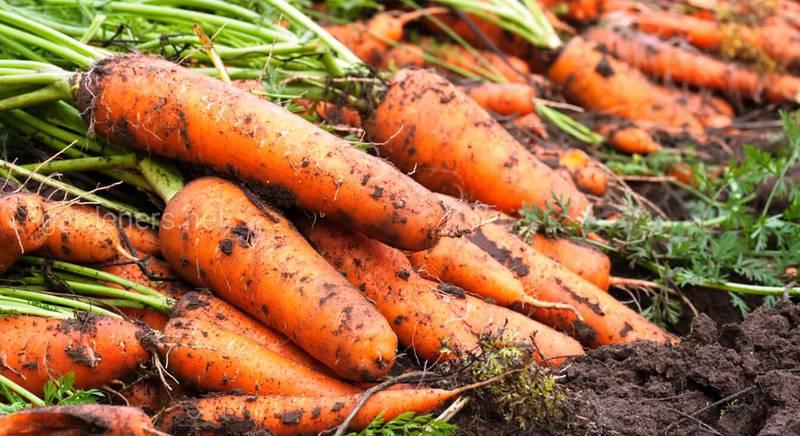 вялая морковь в земле