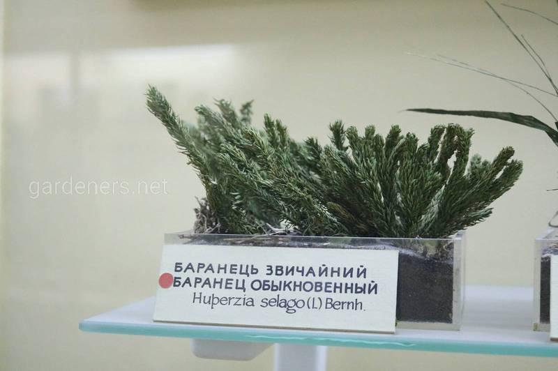 Баранец