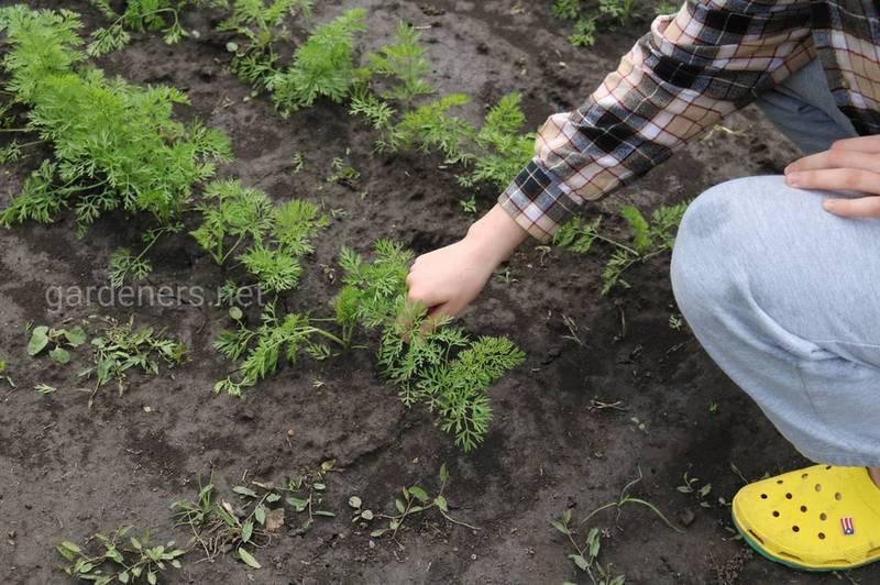 Как правильно посадить и ухаживать за плантацией моркови?