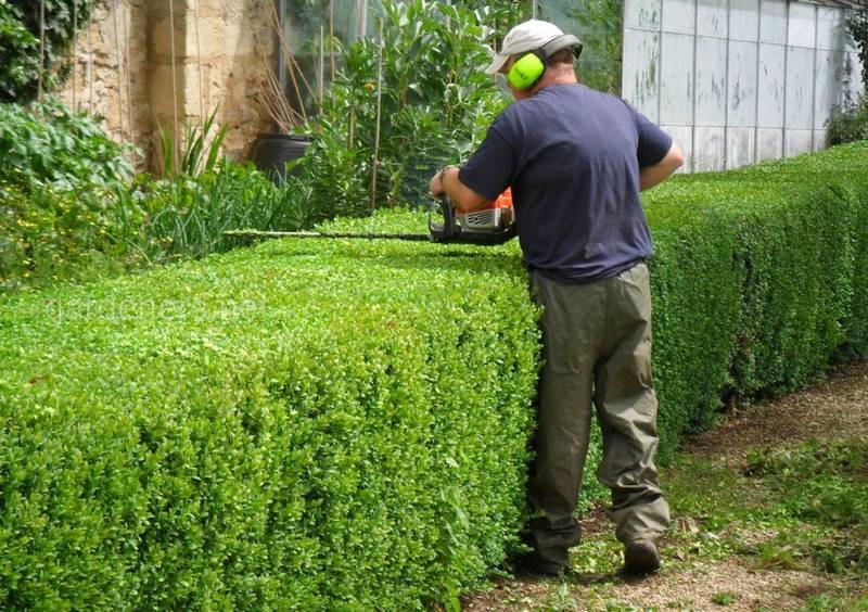Як та коли проводити обрізку живоплотів та декоративних рослин?