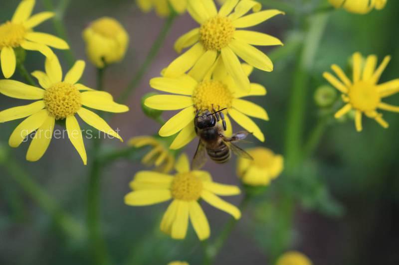 Бджолина отрута — продукт більш цінний, ніж золото!