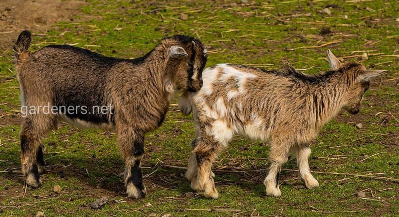 Кормление маленьких козлят: полезные рекомендации относительно рациона