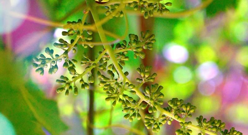 ТОП-4 весенние процедуры винограда до цветения