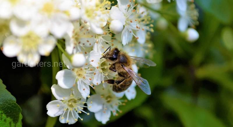 Плюси і мінуси найбільш популярних порід бджіл