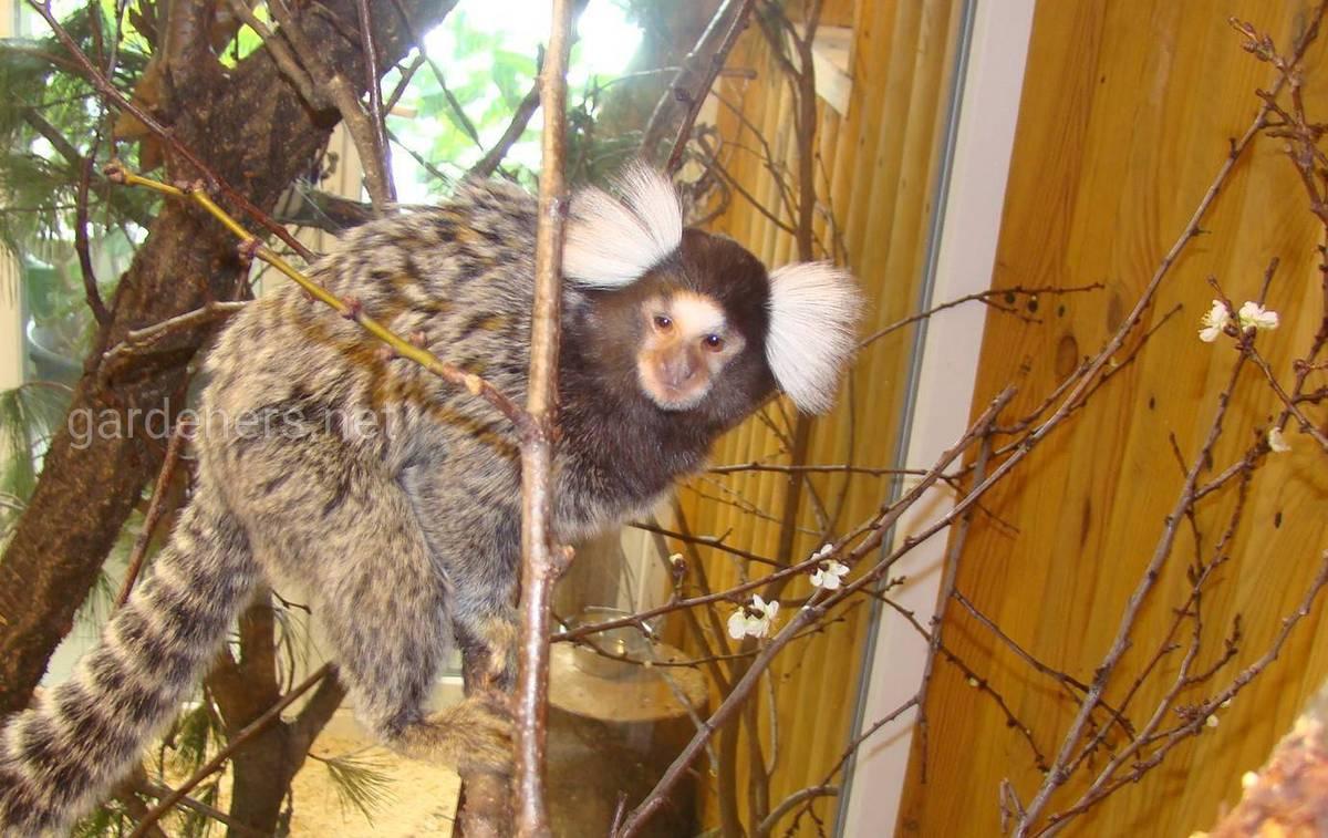мавпи Нового Світу і напівмавпи Мадагаскару.