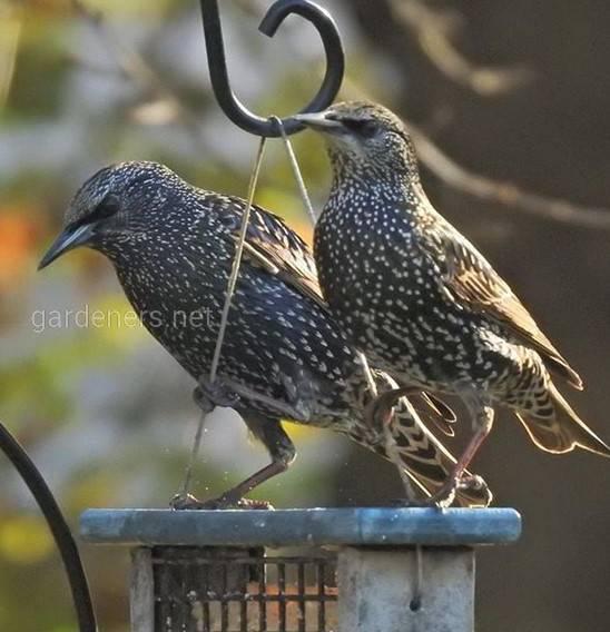 Птах шпак