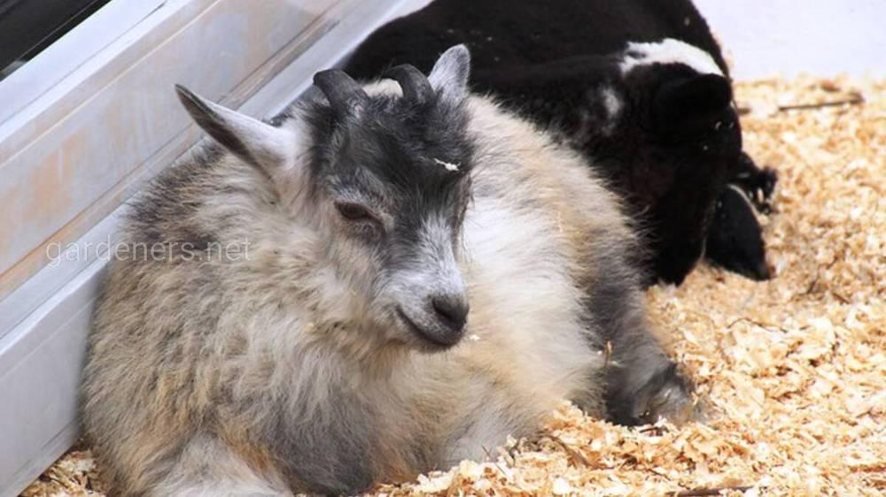 Основні хвороби кіз