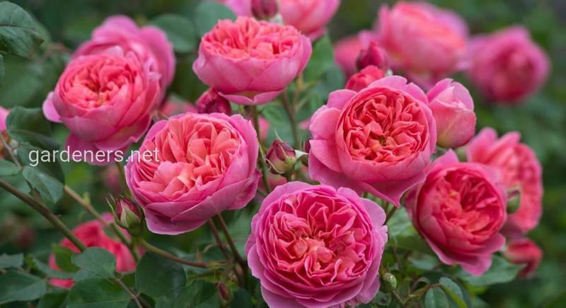 """""""Долгоиграющая"""" десятка: розы, цветущие всё лето"""